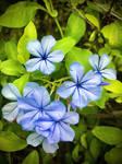 Blue Flowers no2 5/7/2020