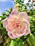 Pink rose no3 16/7/2020