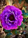 Pink rose no2 31/7/3020