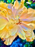 Hibiscus flower 30/8/2020
