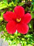 Hibiscus flower 20/9/2020