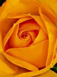 Yellow Rose 1/10/2020