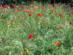 Poppy garden 2/10/2020