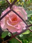 Pink rose 13/10/2020