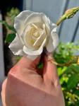 White rose 13/10/2020