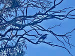 Magpie in a tree 24/10/2020