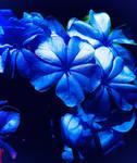 Blue flowers 26/10/2020