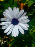 Daisy flower 20/1/2021