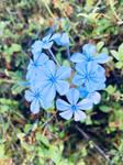 Blue flowers 17/4/2021