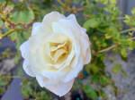 White rose 20/4/2021