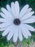 White Daisy flower 26/4/2021