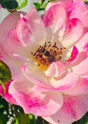 Bee on a pink rose 12/6/2021