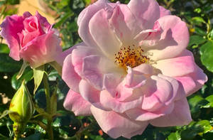 Pink roses 12/6/2021