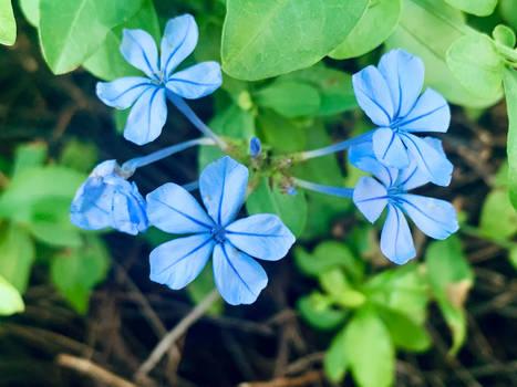 Blue flowers no2 12/6/2021