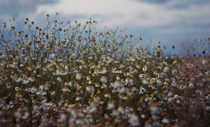 are you chamomile flowers?