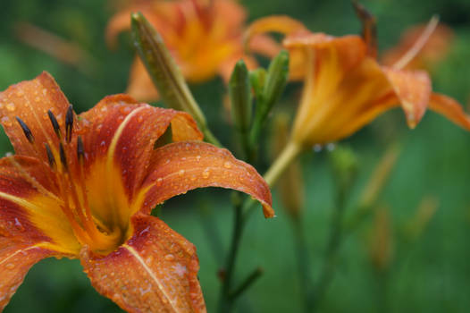 Day Lilies After Rain