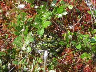 Bog Frog by Redmannine