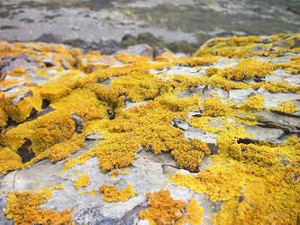 Yellow Lichen by Redmannine