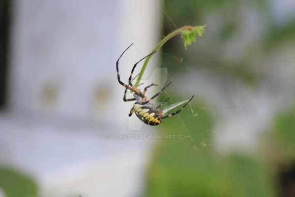garden spider1 by ToxieFox