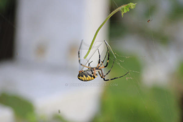 garden spider2 by ToxieFox