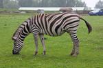 Zebra 003