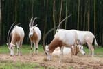 Oryx 002