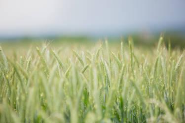 Gras field 01 small DOF by ISOStock
