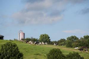Cows near highway 01