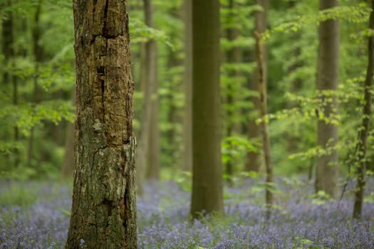 Blue Forest Hallerbos 018