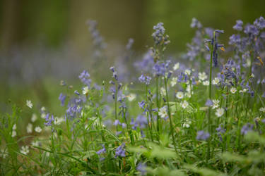 Blue Forest Flowers Hallerbos 017 by ISOStock