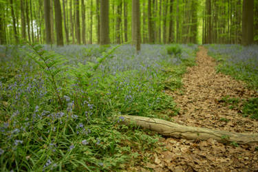 Blue Forest Hallerbos 016 by ISOStock