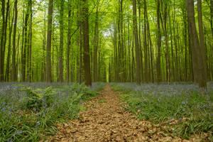 Blue Forest Hallerbos 014