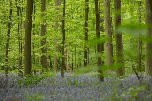 Blue Forest Hallerbos 012