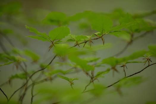 Leaves Hallerbos 010