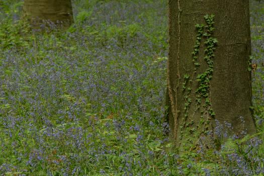 Blue Forest Hallerbos 006