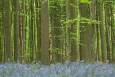 Enchanted Blue Forest Hallerbos 001 by ISOStock