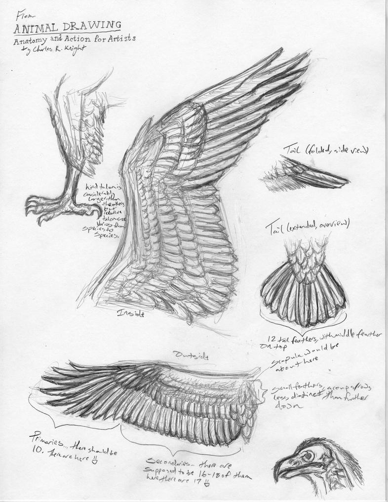 Bird Anatomy Studies by Canis-ferox on DeviantArt