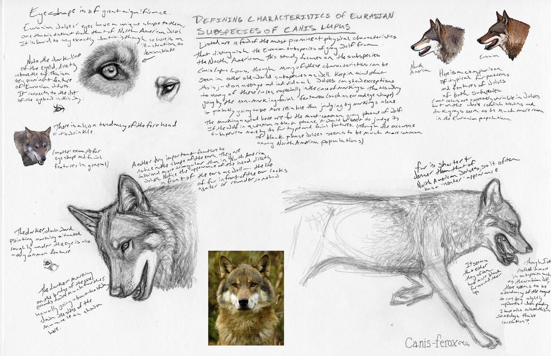 Eurasian Wolf Study by Canis-ferox on DeviantArt