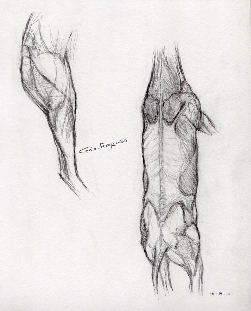 Deer Muscular Anatomy by Canis-ferox on DeviantArt