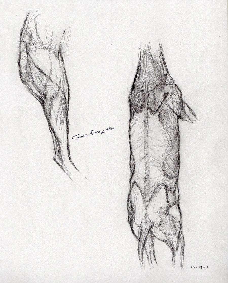 Deer anatomy drawing