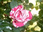Swirl rose
