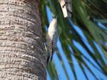 Red Bellied Woodpecker I