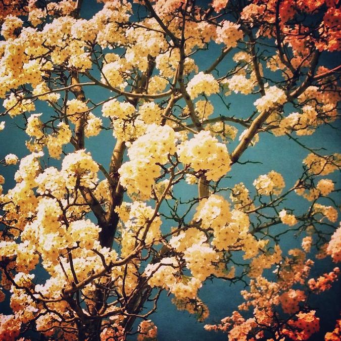 Spring Blosoms by msilvestre