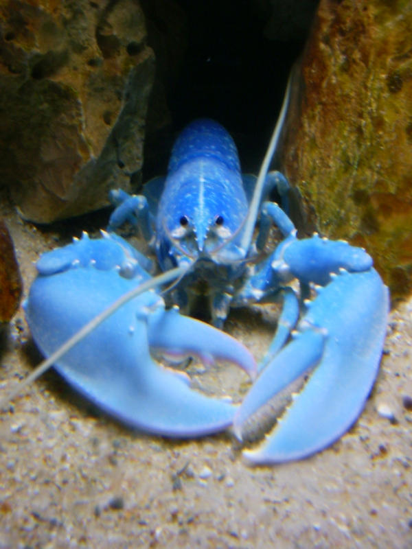 Zhe Blue Lobster Lord, HAS COME BACK!! Dx Blue_lobster_by_amk2z3ro