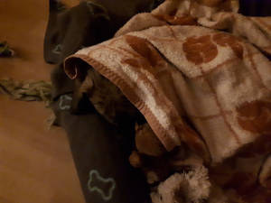 Little dog, sleeping