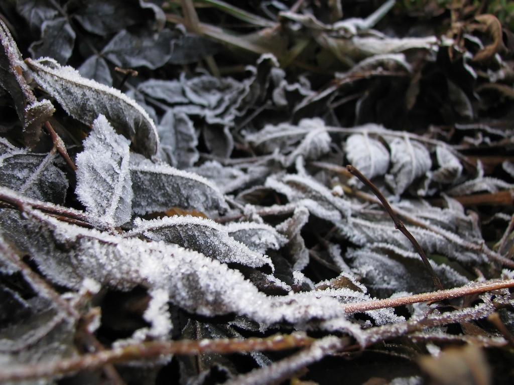 Evening Frost