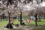 Freudish Sakuras by Helkathon
