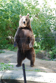 Bear Stock 1