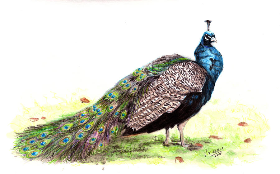 Peacock - Pavo real by VTAbdala