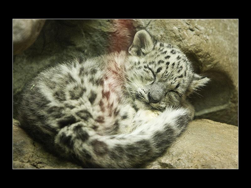 Sleeping Baby Snow Leopard by acojon on DeviantArt